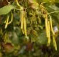 Ольха осенью фото дерева. Ольха – ценное и целебное растение