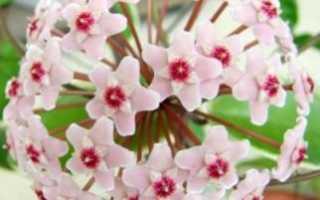 Почему не цветет восковой плющ. Хойя, хоя, восковой плющ — ампельное растение для вертикального озеленения.