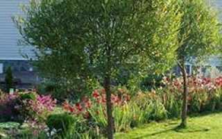 Шаровидная ива в ландшафте сада. Ива шаровидная, посадка и уход