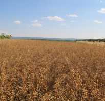 Рыжик культура. Выращивание и применение рыжика посевного