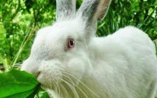 Можно ли кроликам пшено. Чем нельзя кормить кроликов
