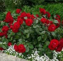 Роза привитая на шиповник посадка и уход. Как я боролась с розой, которая перерождается в шиповник