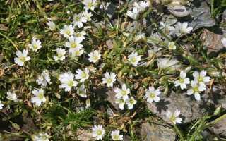 Цветы ясколка посадка и уход фото. Выращивание цветов ясколка