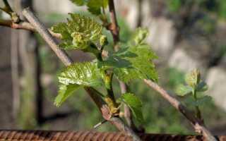 Подкормка винограда видео. Подкормка винограда весной — лучшие удобрения и сроки их внесения
