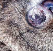 У кролика под кожей шишка. Как лечить миксоматоз (шишки у кроликов)?