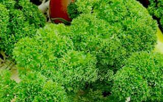 Сорта петрушки для выращивания на подоконнике. Лучшие сорта петрушки сорта