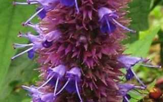 Цветок лофант. Лофант анисовый, посадка и уход
