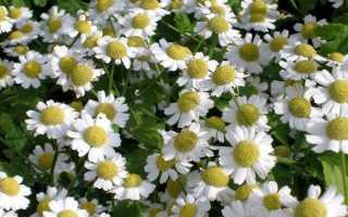 Ромашка как называется по другому. Цветы, похожие на ромашки, у вас в саду – фото, названия