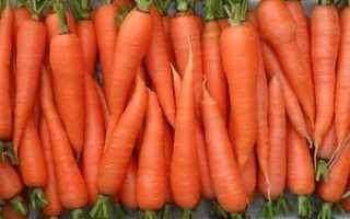 Морковь которая не поражается морковной мухой. Сорта моркови, устойчивые к морковной мухе и черной гнили
