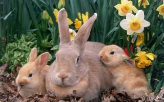 Сколько дней носит крольчиха. Как определить сукрольность крольчихи?