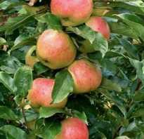 Колоновидная яблоня валюта описание фото отзывы. Сортовая колоновидная яблоня — Валюта