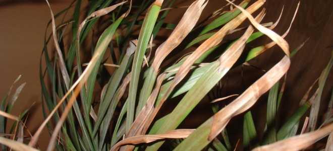 У пальмы сохнут кончики листьев что делать. Почему у пальмы сохнут листья?