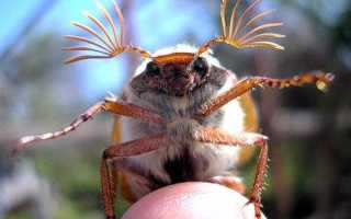 Что едят жуки в домашних условиях. Может ли жить майский жук домашних условиях?