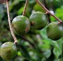 Орех макадамия дерево фото. Дерево макадамия — фото и фотографии