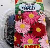 Персидская ромашка фото. Персидская ромашка Робинзон — секреты выращивания