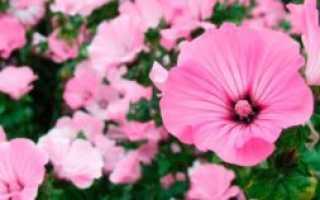 Лаватера рубиновая фото. Лаватера – выращивание из семян, когда сажать