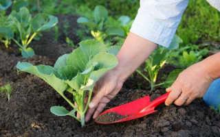 Секреты выращивания капусты в открытом грунте. 12 секретов выращивания рассады капусты