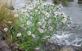 Цветы сентябринки размножение и уход. Когда и как правильно посадить и выращивать сентябринки в открытом грунте