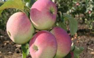 Яблоня ветеран описание фото отзывы. Описание и характеристики сорта яблони Ветеран, посадка, выращивание и уход