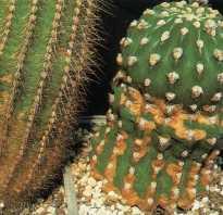 Коричневые пятна на кактусе. Кактусы: болезни и их лечение