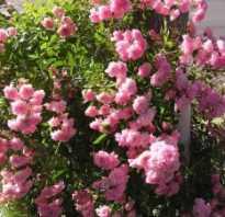Роза фея фото. Почвопокровная роза «Фейри»: описание, выращивание