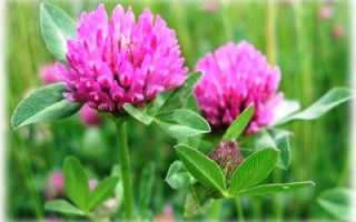 Можно ли сеять клевер в октябре. Когда лучше сеять клевер весной или осенью