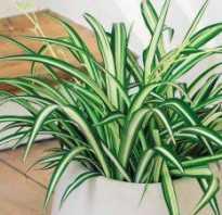Хлорофитум сохнут. Почему желтеют листья у хлорофитума и что делать