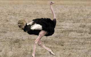 Страус эму это птица или животное. Узнаем, кто же такой страус на самом деле?