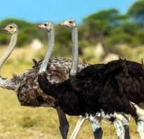 На каком материке живет эму. Естественная среда обитания страусов. На каких континентах живет самая крупная в мире птица?