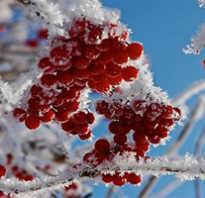 Кустарники с ягодами названия. Топ 10 кустарников с плодами для украшения сада осенью и зимой