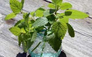 Мелисса домашняя фото. Как посадить мелиссу в горшке, выращивание «лимонной мяты» в комнатных условиях