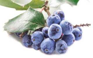 Магония ягоды съедобные или нет. Магония (Mahonia L.)