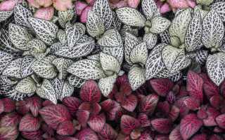 Почему сохнут листья у фиттонии. Очаровательная фиттония: особенности ухода за цветком в домашних условиях