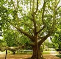 Платан плоды. Платан: дерево из кладовых природы