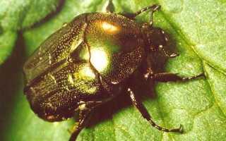 Перламутровый жук.