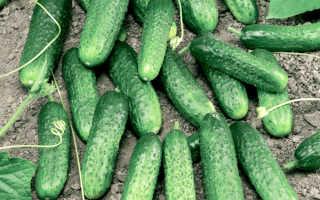 Огурец миранда отзывы. Как посадить и вырастить огурцы «Миранда»