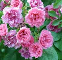 Роза морщинистая rosa rugosa. Роза морщинистая (шиповник) Шнеекоппе (Rosa rugosa Schneekoppe)