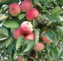 Колоновидная яблоня васюган описание фото отзывы. Яблоня Васюган