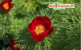 Пион тонколистный фото и описание. Тонколистные пионы – забытое, но роскошное украшение вашего сада!