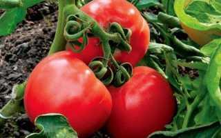 Семена ультраранних томатов. Ранние сорта помидор