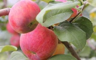 Краса свердловска яблоня описание фото. Сорт яблони Краса Свердловска