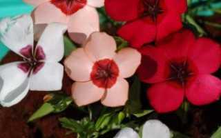 Лен красный выращивание из семян. Лен крупноцветковый: выращивание из семян. Как ухаживать за льном в саду?