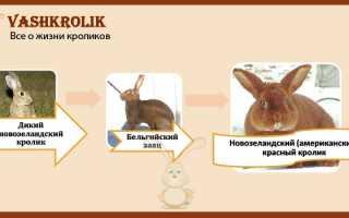 Кролик с красными глазами. Характеристики белого кролика