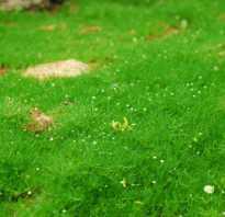 Мшанка шиловидная фото. Мшанка шиловидная – мягкий мох для вашего участка