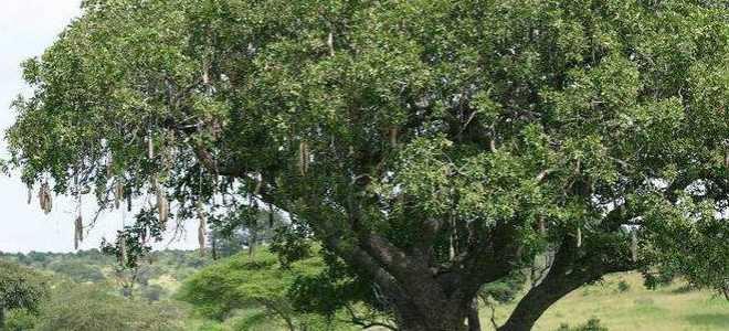 Колбасное дерево в домашних условиях. Кигелия африканская — дерево с колбасными плодами
