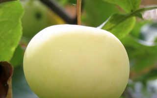 Яблоня белоснежка описание. Яблоня Юнга
