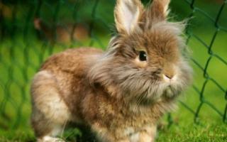 Кролик породы львиная головка. Кролик породы львиная головка