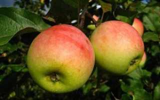 Яблоня северный синап описание фото отзывы посадка. Особенности посадки и ухода за яблоней сорта Синап