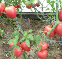 Томат вельможа отзывы фото урожайность. Сорт томата Вельможа (Буденовка)