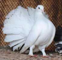 Павлин голубь. Голуби павлины. Как содержать и разводить этих красивых птиц?